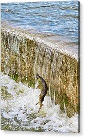 Muskie - Lake Wingra - Madison - Wisconsin Acrylic Print by Steven Ralser