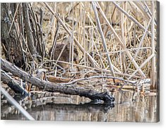 Muskrat Eating A Fish Acrylic Print