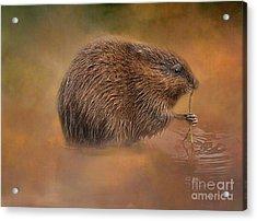 Muskrat Snack Acrylic Print by Geraldine DeBoer