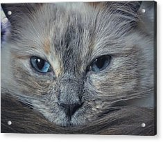 Mustachioed Cat Acrylic Print by Karen Stahlros