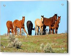 Mustang Herd Acrylic Print
