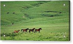 Mustangs Of The Flint Hills Acrylic Print
