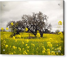 Acrylic Print featuring the photograph Mustard And Oaks by Leslie Hunziker