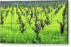 Mustard Flowers In The Vineyards Acrylic Print