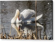 Acrylic Print featuring the photograph Mute Swan - 3 by David Bearden