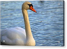 Mute Swan 3 Acrylic Print by Mark Platt