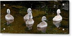 Mute Swan Babes Acrylic Print
