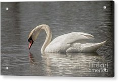 Acrylic Print featuring the photograph Mute Swan by David Bearden