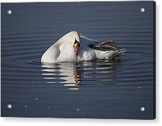 Mute Swan Resting In Rippling Water Acrylic Print