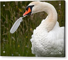 Mute Swan With Feather Acrylic Print