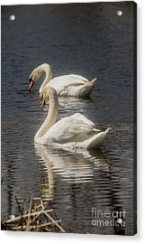Acrylic Print featuring the photograph Mute Swans by David Bearden