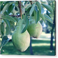 My Brothers Pear Tree Acrylic Print by Wayne Potrafka