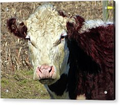 My Favorite Cow Acrylic Print by Tina M Wenger