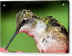 My Hummingbird Acrylic Print by Debbie Green