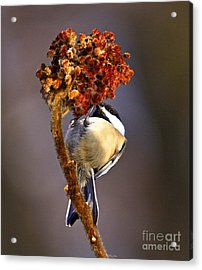 My Little Chickadee Acrylic Print by Robert Pearson
