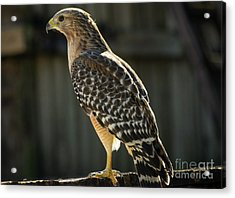 My Lucky Hawk Acrylic Print