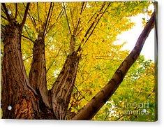 My Maple Tree Acrylic Print by James BO  Insogna