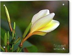 My Plumeria Acrylic Print by Deborah Benoit
