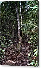 My Roots Acrylic Print by Ross Powell