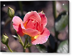 My Rose Acrylic Print by Don  Wright