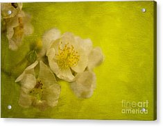 My Sweet Wild Rose Acrylic Print by Lois Bryan