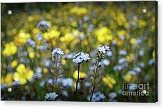 Myosotis With Yellow Flowers Acrylic Print