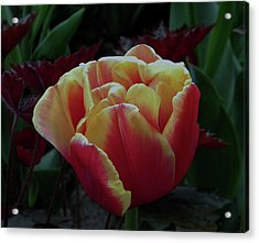 Acrylic Print featuring the photograph Mysterious Tulip by Manuela Constantin