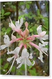 Mystery Flower Is Florida Pinxter Azalea Acrylic Print by Warren Thompson