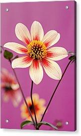 Mystic Dahlia Acrylic Print