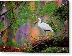 Mystical White Ibis Acrylic Print