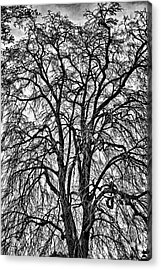 Naked Tree On Capitol Hill Acrylic Print