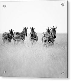 Namibia Zebras II Acrylic Print by Nina Papiorek