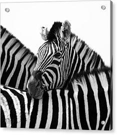 Namibia Zebras IIi Acrylic Print by Nina Papiorek