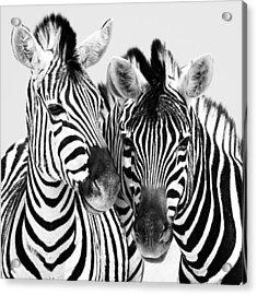 Namibia Zebras Iv Acrylic Print by Nina Papiorek