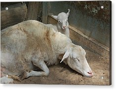 Nap Time Acrylic Print by Suzanne Gaff