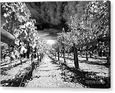 Napa Rows In Bw Acrylic Print by Mary Haber