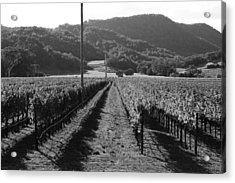Napa Valley Vineyard .  Black And White . 7d9020 Acrylic Print