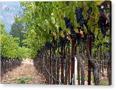 Napa Valley Vineyard-8 Acrylic Print