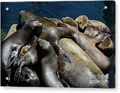 Napping Atop A Massive Sea Lion Acrylic Print