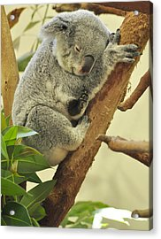Naptime Acrylic Print by Margaret Augustine