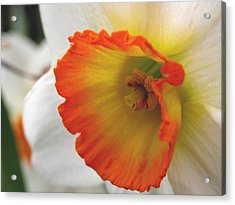 Narcissus Acrylic Print by Michelle Hastings