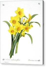 Narcissus (n. Tazetta) Acrylic Print by Granger
