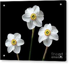 Narcissus 'poeticus' Acrylic Print