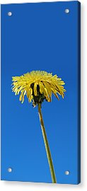 Narrow Poster - Little Piece Of Sunshine  Acrylic Print by Marilynne Bull