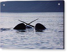Narwhal Males Sparring Baffin Island Acrylic Print