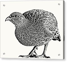 Natal Spurfowl Full Figure Acrylic Print