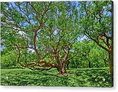 Acrylic Print featuring the photograph National Champion Gumbo Limbo Tree  -  Championgumbolimbotree135360 by Frank J Benz