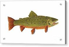 Native Brook Trout Acrylic Print