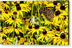 Monarch Butterfly On Yellow Flowers Acrylic Print