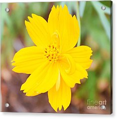 Acrylic Print featuring the photograph Nature Colorful Flower Gifts - Yellow by Ray Shrewsberry